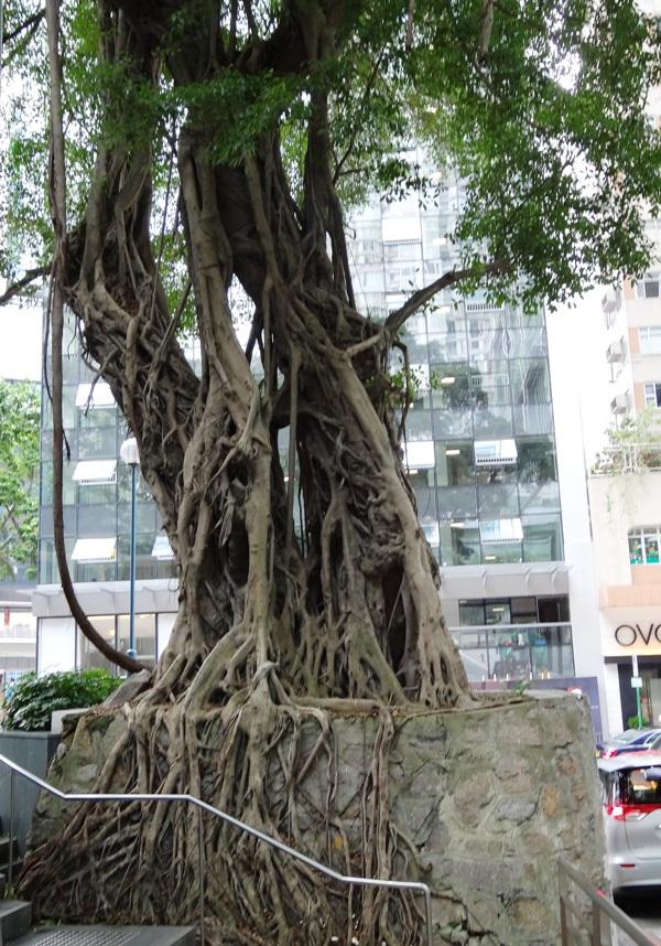 Ficus outgrown its planter