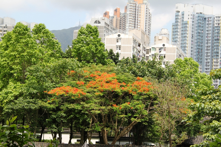 Flame of the Forest Tree in flower late May