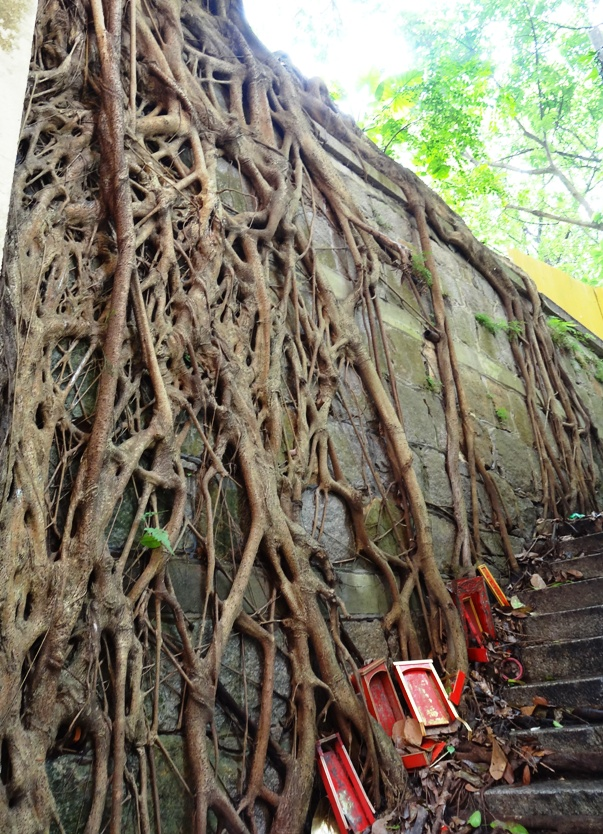 Maze of ficus roots