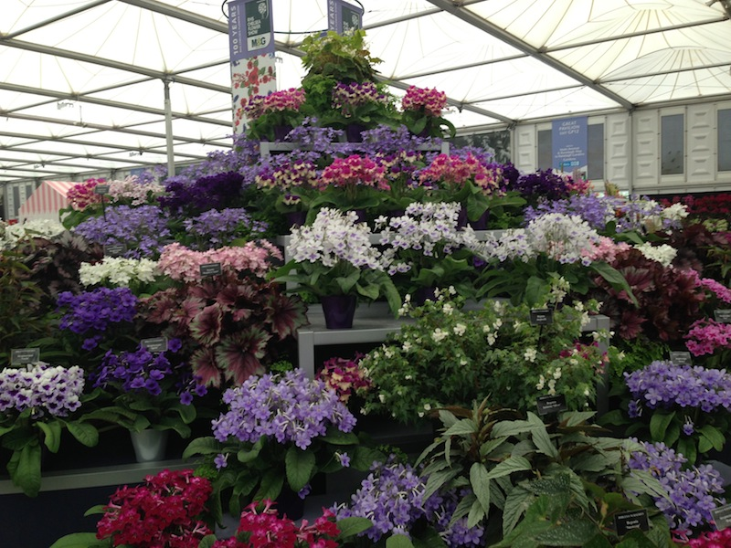 Streptocarpus at the Dibleys stand Chelsea Flower Show 2013