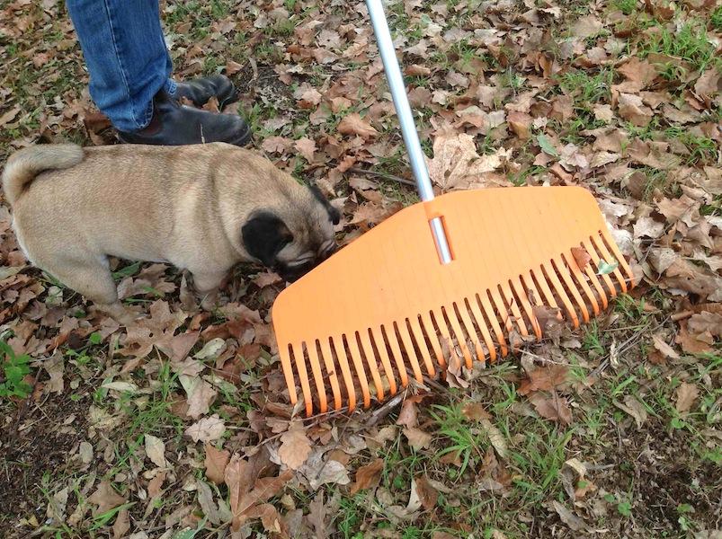Dora the pug investigates my new Nyglass rake