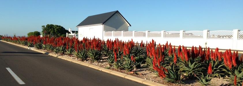 Aloes alongside roads