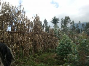 Dried eucalypt fencing in Rwanda