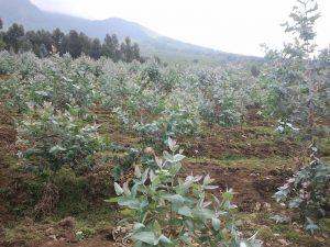 Eucalypt plantation in Rwanda