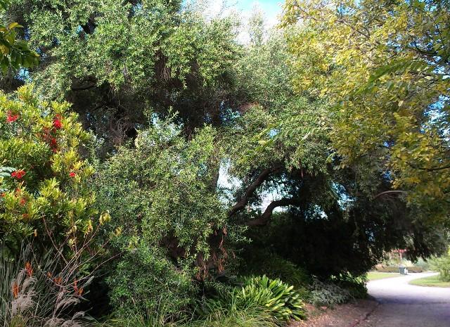 Giant olive tree in St Kilda Botanical Gardens