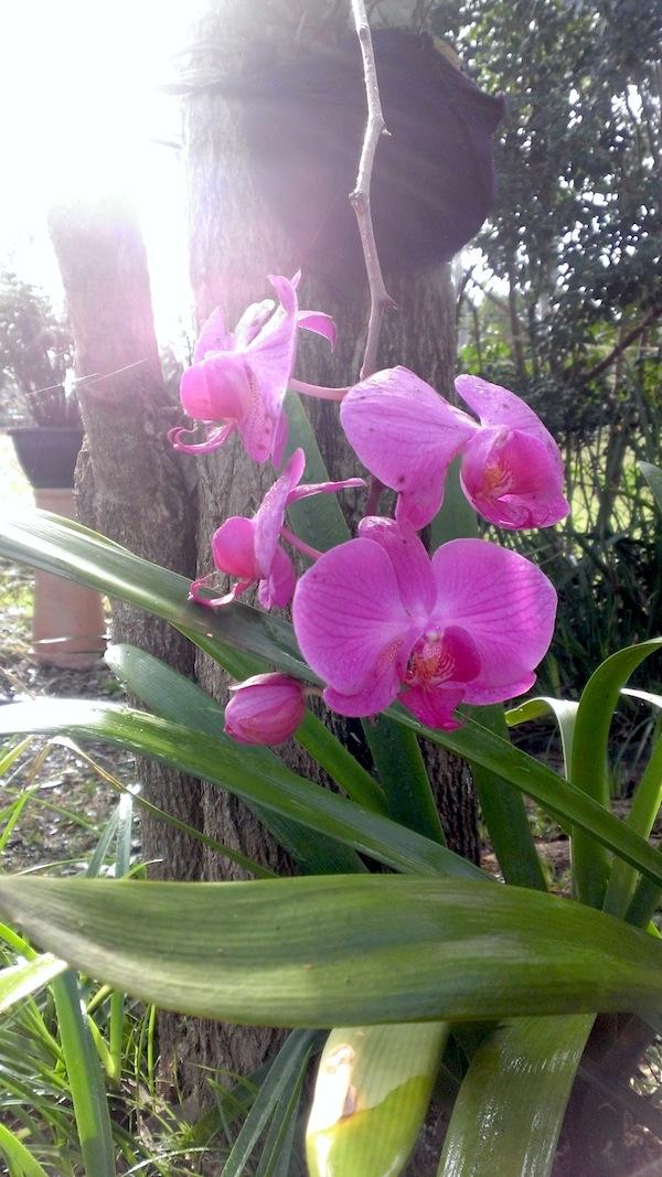 My pink phalaenopsis orchid