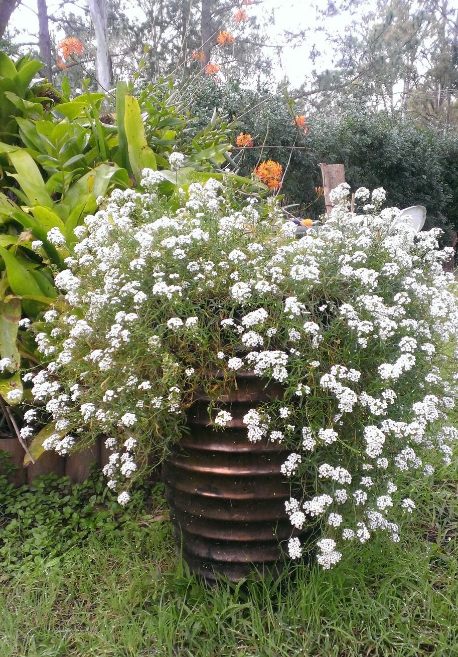 Pretty potted white alyssum