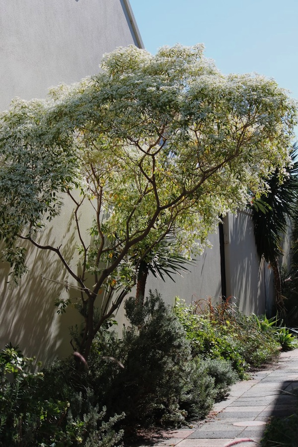 My snowflake bush is underpruned to keep access along the laneway