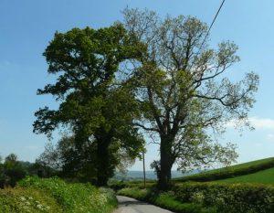 Oak & ash. Photo Jonathan Billinger