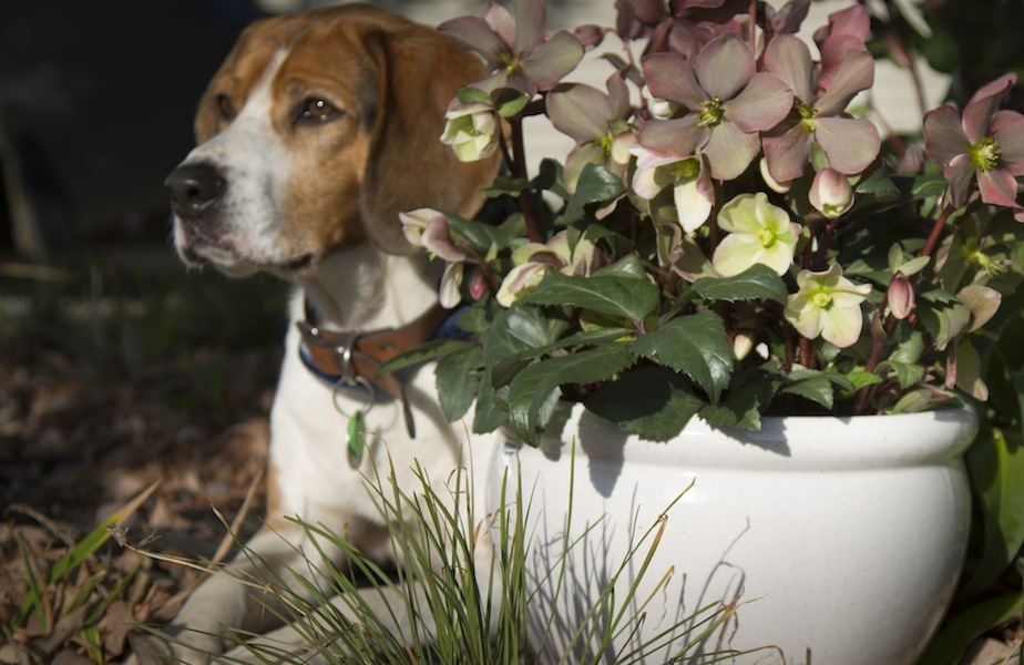 Hellebores - and another loyal friend!