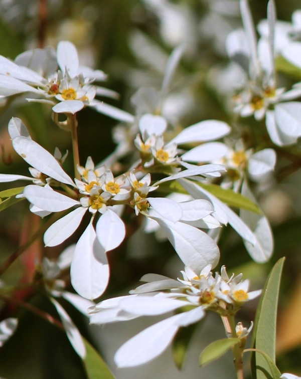 Snowflake bush has white bracts clustered around the true flowers