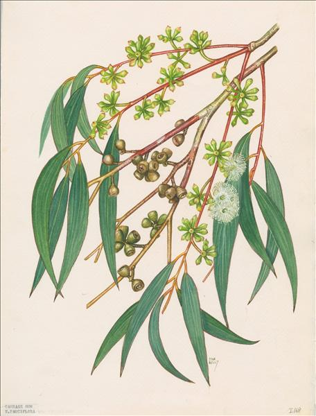 Painting of Eucalyptus pauciflora subspecies parvifructa by Stan Kelly