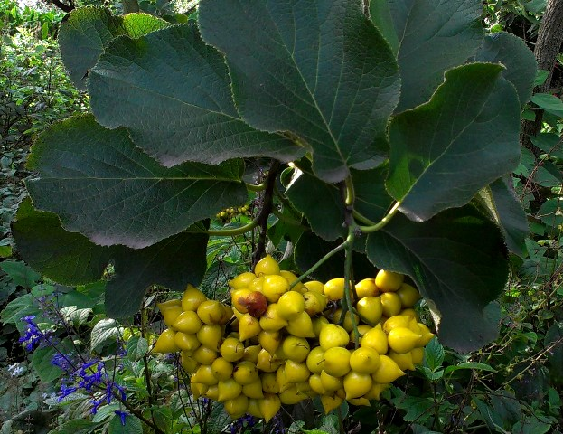 The mystery shrub with rough leaves and yellow fruit