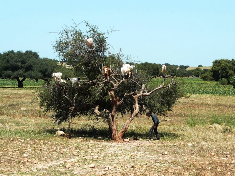 Argan tree with goats