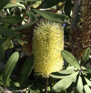 Banksia integrifolia yellow flowers