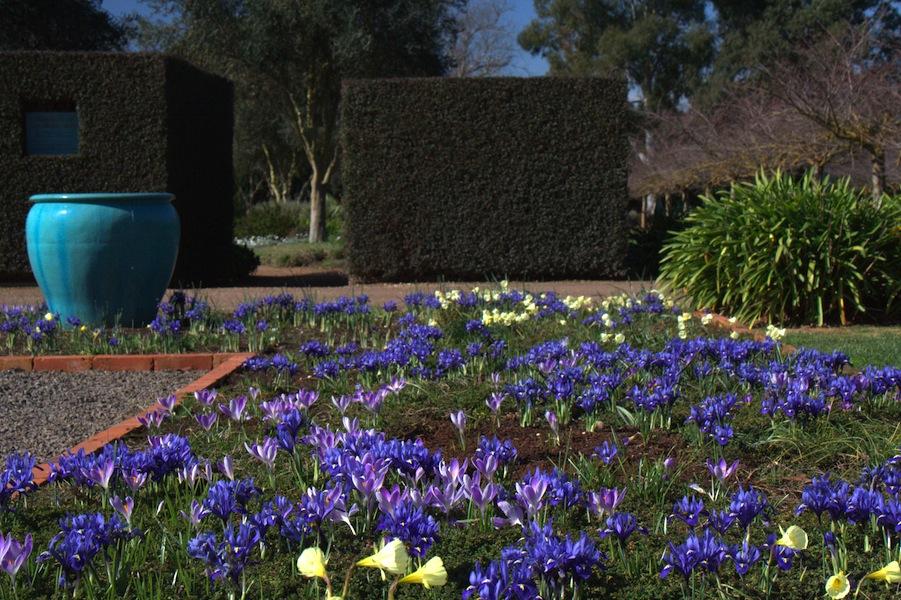 Iris reticulata, Crocus and Narcissus in the Lambley Gardens