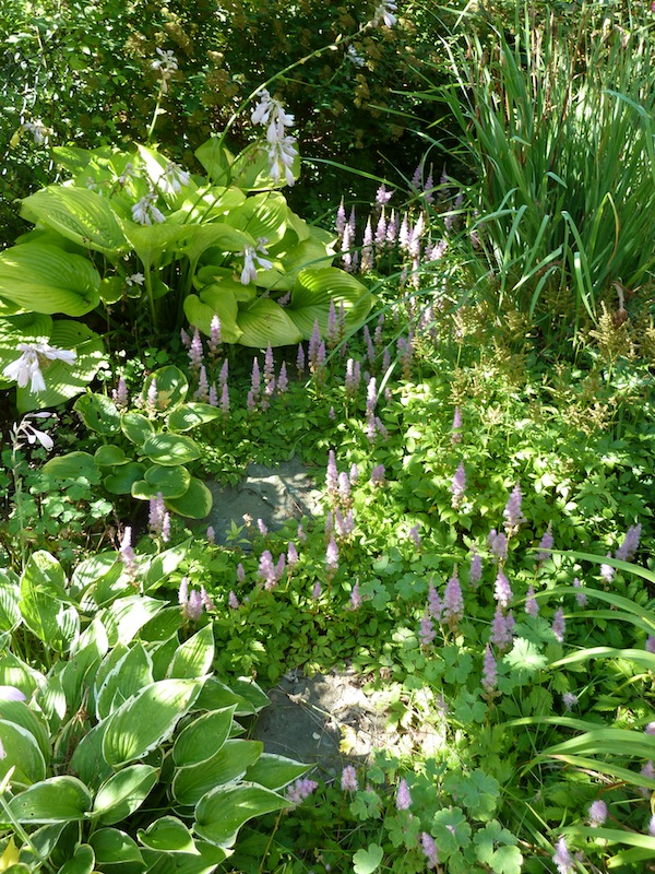 Mauve Astilbe flowers with Hosta 'Sum and Substance'