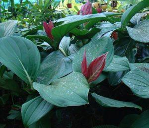 Medinilla miniata foliage