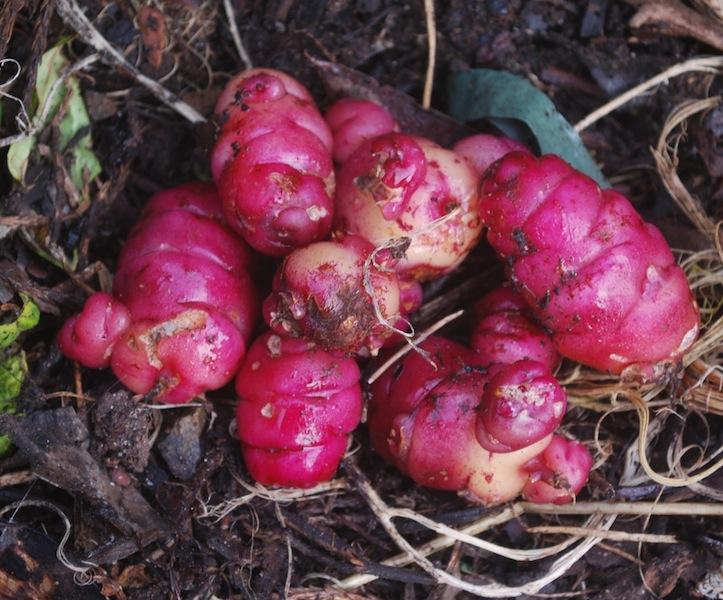 Oxalis tuberosa New Zealand Yam