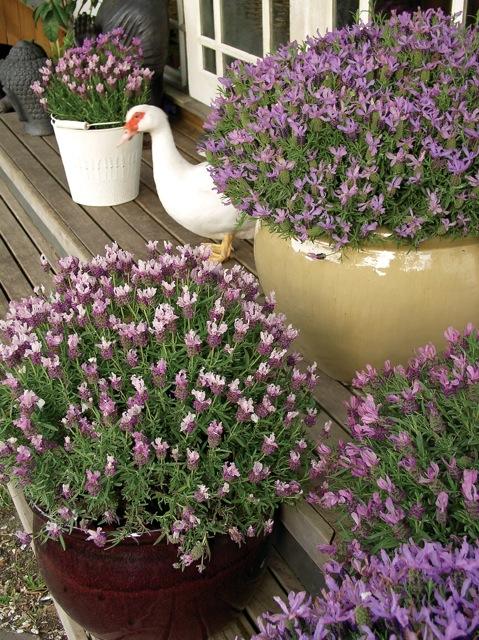 PGA Lavender Ruffles Assorted