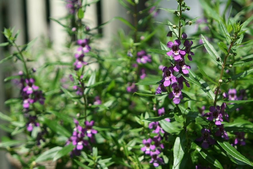 Angelonia always reliable in the sun ©2013 BDG