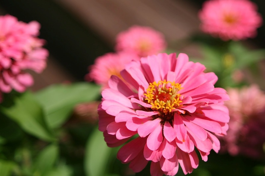 Zinnia that is still mad that I missed watering a few days during the heat ©2013 BDG