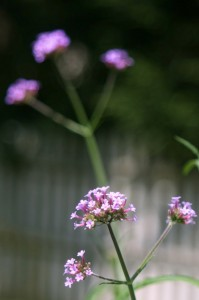 Classic Verberna bonariensis just starting to flower ©2013 BDG