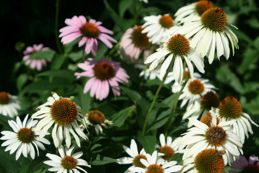 More Echinacea thriving in the heat ©2013 BDG