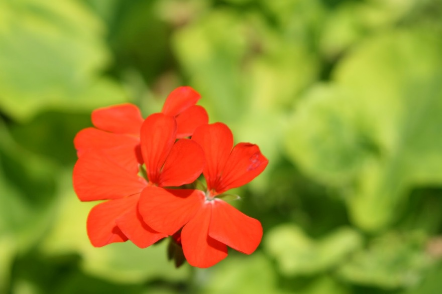 Love this neon red/orange Geranium against the  chartreuse foliage ©2013 BDG