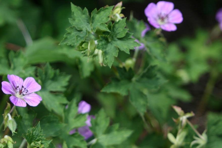 Geranium 'Rozanne' will flower til frost ©2013 BDG