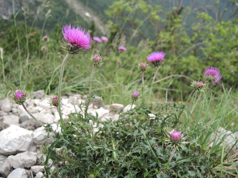 Wildflowers of the Dolomites6