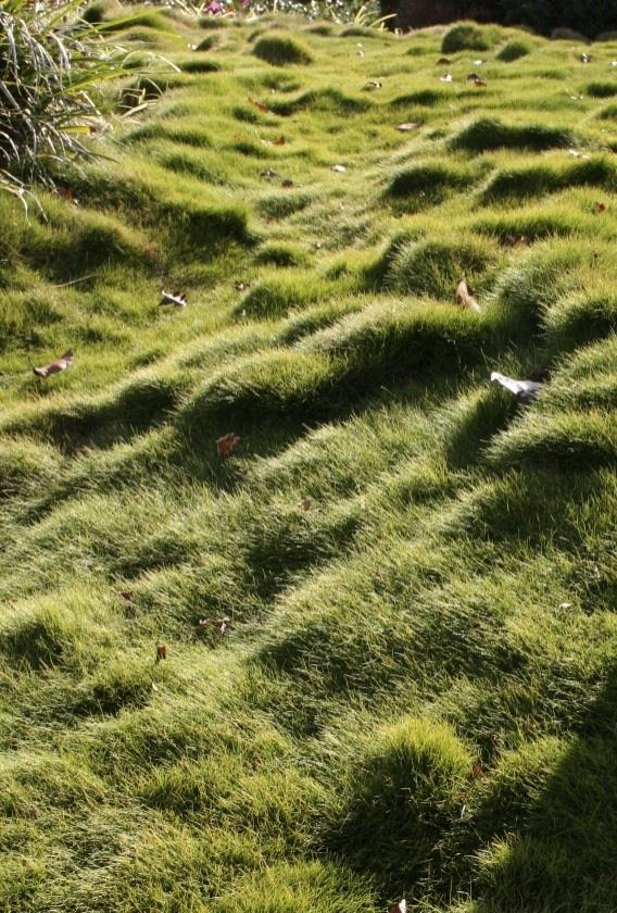 Zoysia grass groundcover