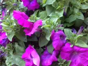 Early flowering petunia