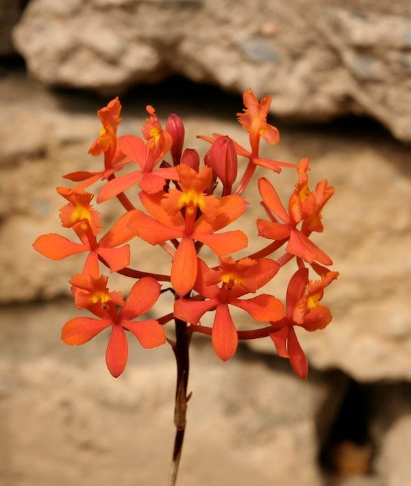 Epidendrum ibaguense cultivar