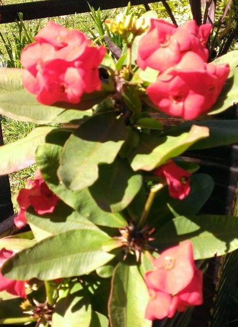 Crown of thorns euphorbia