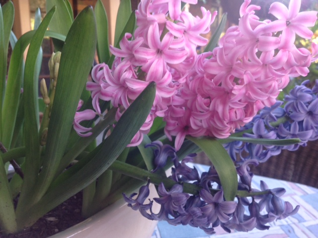 Gorgeous scented hyacinth