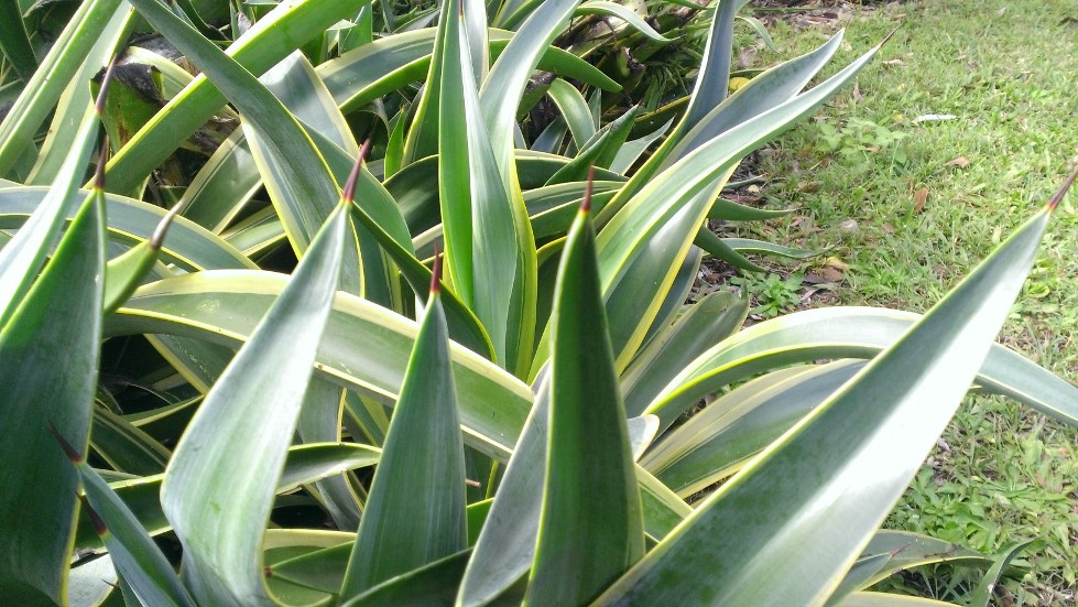 Needle-tipped agaves