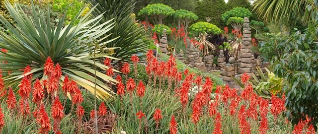 Aloes in Attila Kapitany garden Photo Tim Entwisle