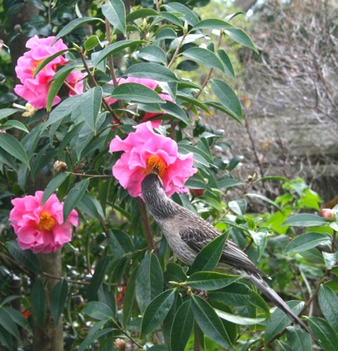 Wattle bird enjoying camellia nectar