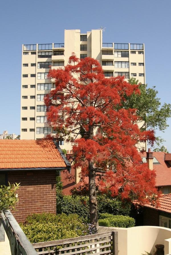 Illawarra flame tree in full flower