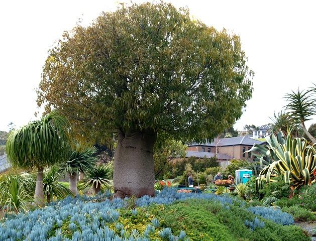 Brachychiton rupestris bootle tree in Attila Kapitany garden Photo Tim Entwisle