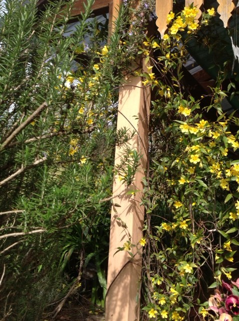 Carolina jasmine twines up the pergola post – a gentle climber