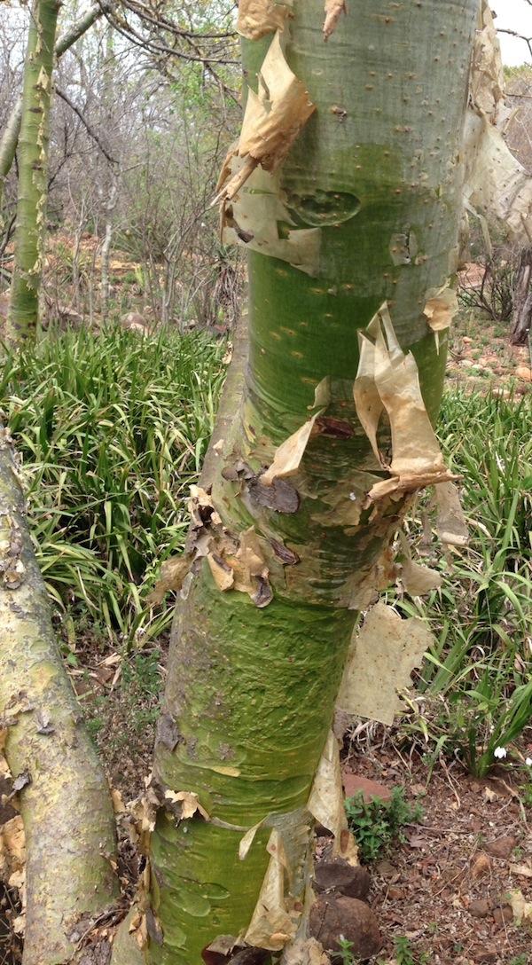 Commiphora tree