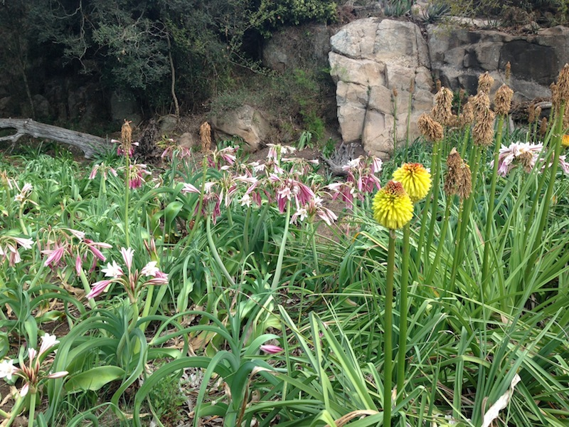 Crinum macowanii, and kniphofia