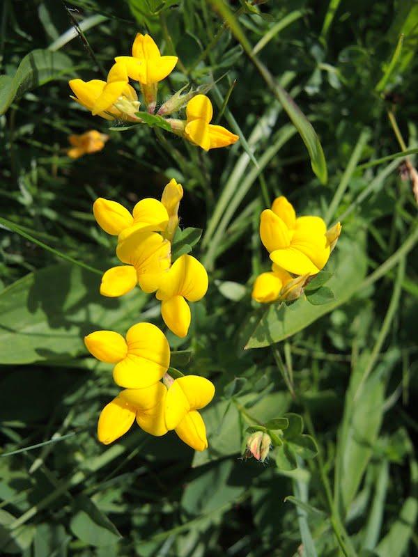 Cytisus sauzeanus
