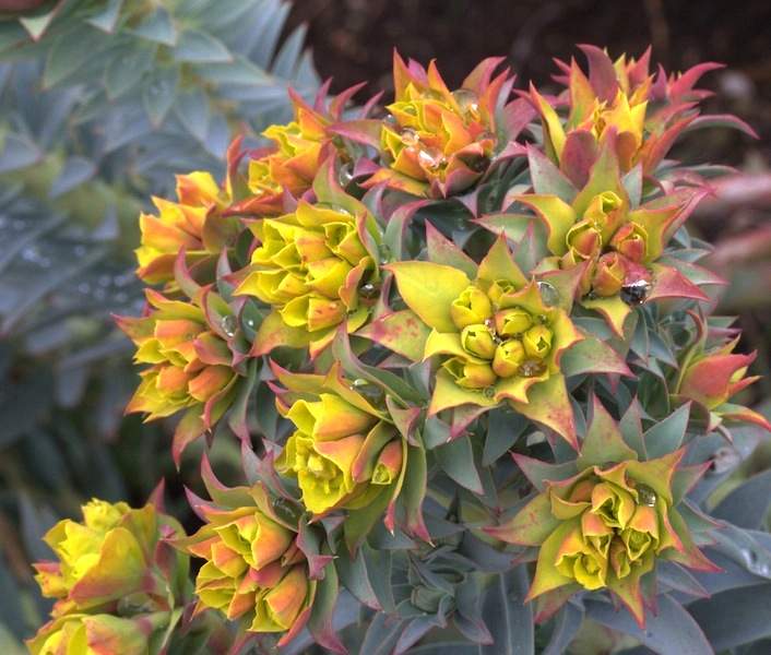 Euphorbia rigida flowers begin to change colour in spring