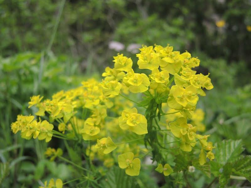 Euphorbia sp