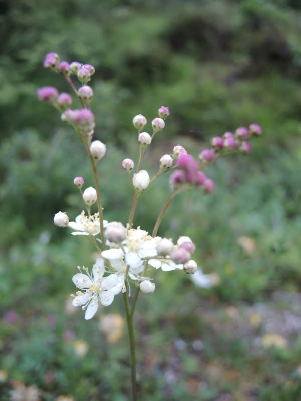Filipendula sp
