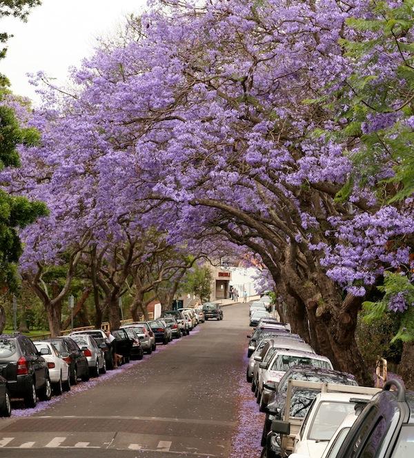 Jacaranda November in Sydney