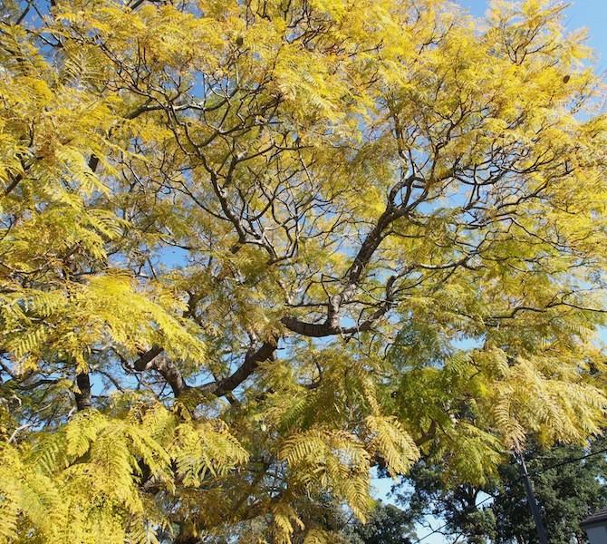 Jacaranda colours bronze-gold in spring